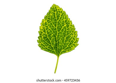 Single leaf isolated  on a white background with clipping path