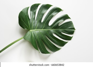 Single leaf of Monstera plant on white background. Close up, isolated with copy space.