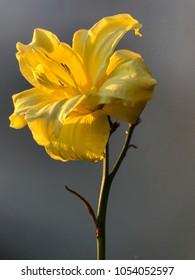 Single lemon daylily with blurred gray background closeup
