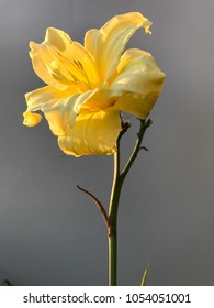 Single lemon daylily with blurred white background closeup