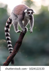 Single Lemur Katta - Ring-tailed Lemur in zoological garden