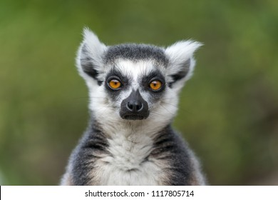 Single Lemur staring directly at camera