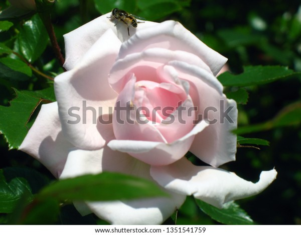 single light pink rose with a honey bee on it with green leaf background