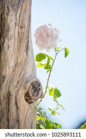 A single light pink rose next to a tree trunk.