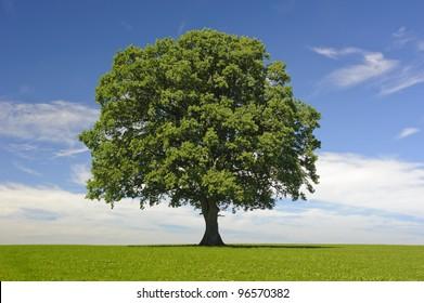 single linden tree at spring