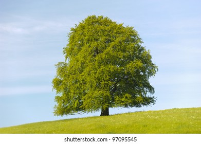 single linden tree at spring in meadow