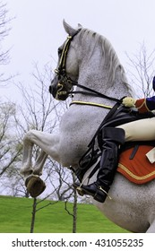 Single Lipizzaner horse close up with horseman bridled