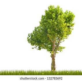 single London plane tree in green grass isolated on white background