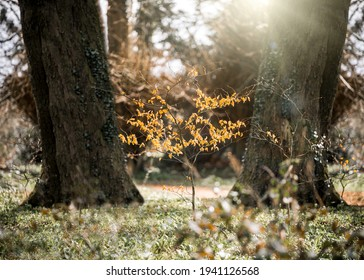 Single lone tree with beautiful autumn season orange yellow leaves with golden sunlight shining through trees and woodland creating stunning seasonal fall colours in peaceful tranquil forest.