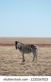 Single, lonley buchells zebra standing in open savannah withblue sky looking at camera, Etosha National Park, Namibia