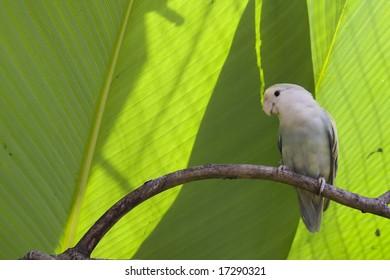 Single lovebird at rest