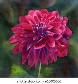 Single Magenta Dahlia Blossom dark background.  Watercolor painting square design hand painted with red violet dahlia flower