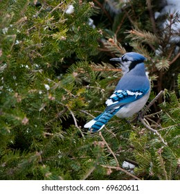 Single male blue jay (Cyanocitta cristata) sits on green pine branches