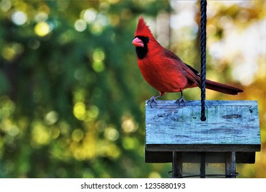 A single male cardinal bird perching on the roof of wooden feeder enjoy watching and relaxing on the soft focus garden background, Autumn  in GA USA.