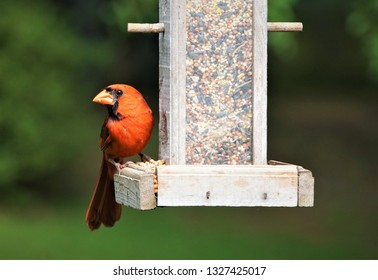 A single male cardinal bird perching on wooden bird feeder enjoy eating and relaxing on the soft focus garden background, Summer in GA USA.