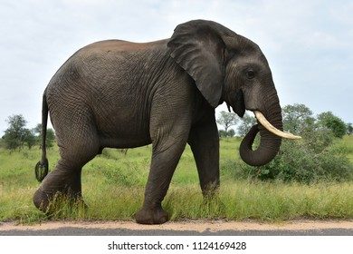single male elephant,South Africa