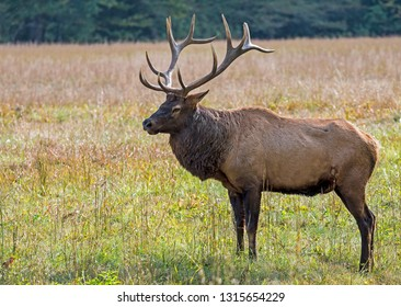 A single male Elk poses in a grassy meadow during rutting season.