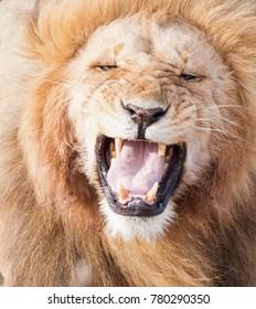 Single male lion (Panthera leo) showing flehmen response in Maasai Mara National Park, Kenya