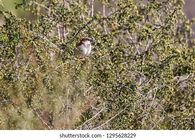 Single male sparrow slipping on flowering bush