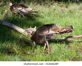 Single Male Turkey in a grassy field / Thirsty Turkey / Single Male Turkey drinking water in a grassy field