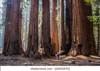Single Man with Huge Grove of Giant Sequoia Redwood Trees in Cal