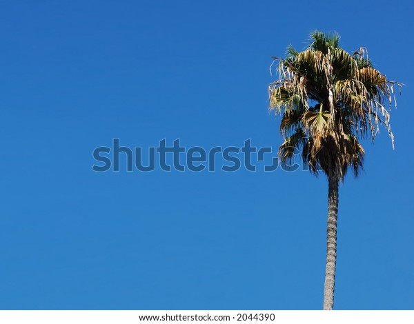 Single Margin Palm Tree