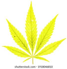Single marijuana plant on white background