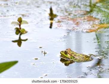 Single Marsh Frog, Rana ridibunda floating in a Spanish pond in spring.  Alert and ready to escape
