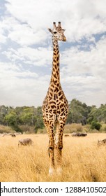 Single Masai giraffe standing tall in Kenya grassland field