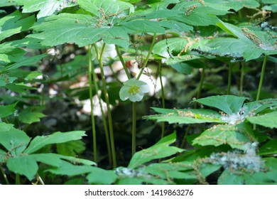 A single mayapple wildflower blooms in the Audubon Woods Nature Preserve, Mount Pleasant, Michigan.