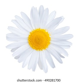 Single medical chamomile flower, used in herbal tea, Matricaria chamomilla, isolated on white background