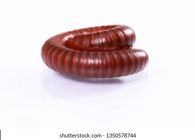 a single millipede, the white background with reflection photo of millipedes.