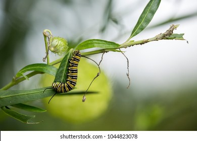 A single monarch butterfly (Danaus plexippus) caterpillar feeding on a Swan plant (Gomphocarpus sp.) Photographed in Rotorua, New Zealand.