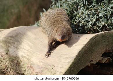 Single mongoose (meerkat)