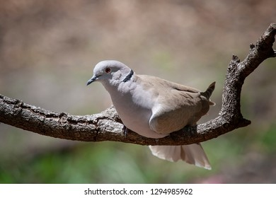 Single mourning dove sitting on tree branch with soft background