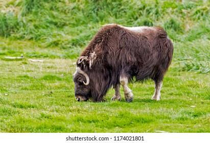 Single Musk Ox feeding on green grass in Alaska.