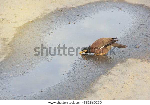 Single mynas (also call acridotheres) drinking water in puddle on road