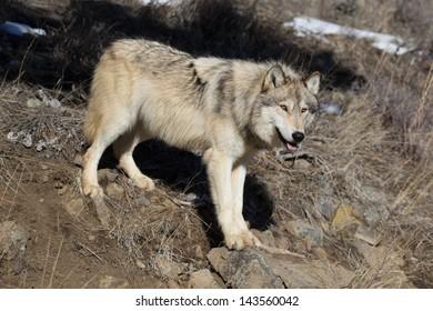 Single North American Grey Wolf in Montana wilderness