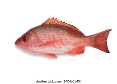 Single Northern red snapper isolated on white background