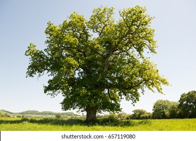 Single Oak Tree in English Countryside on a summers day against a blue sky.