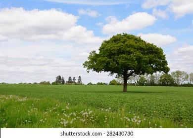 Single oak tree stands in a lush green farm field against a blue spring sky