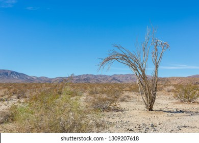 A single Ocotillo, in the Ocotillo Patch in the Pinto Basin, Joshua Tree National Park, California, USA