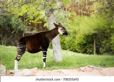 Single Okapi standing by a tree