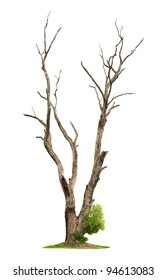Single old and dead tree and young shoot from one root isolated on white background.Concept death and life revival.
