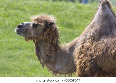 Single one hump camel, side profile.