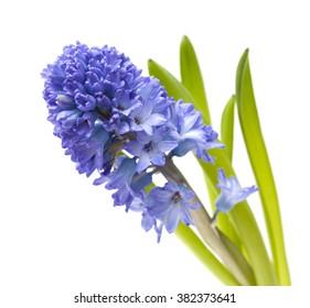 single open blue hyacinth flower  isolated on white background