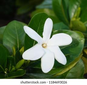 Single open Tiare flower on green leaves