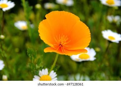Single orange California poppy (Eschscholzia californica) against a background of white mini-Marguerites or snow daisies (Chrysantemum paludosum)