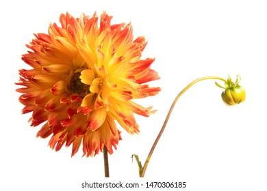 Single orange dahlia flower isolated on a white background