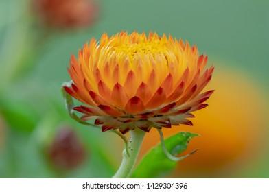 Single Orange Flower - Everlasting Flower